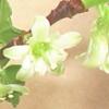 スグリの花の様子