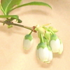 ランコーカスの花